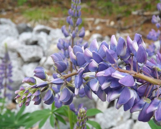 lupine on the trail